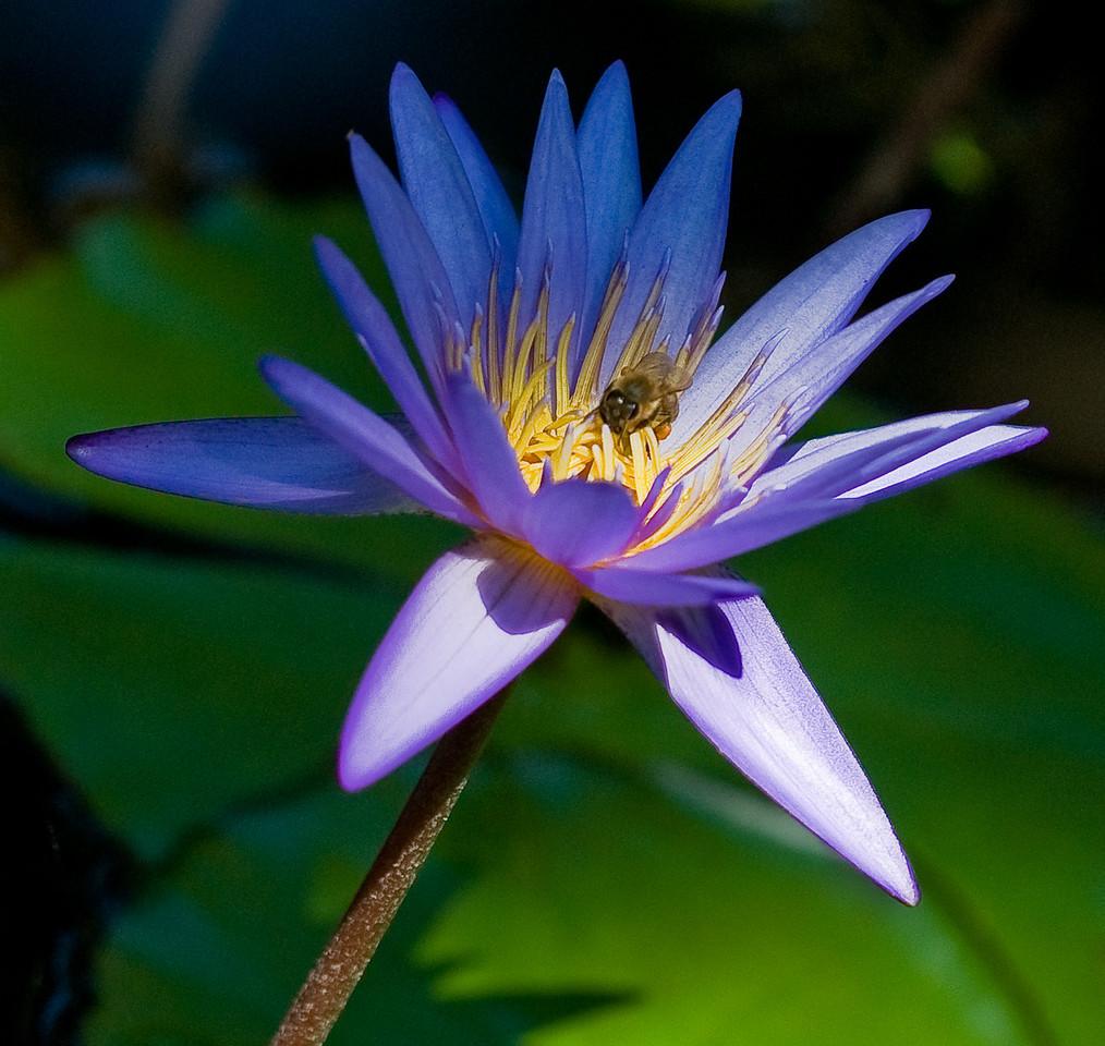 McKee Botanical Garden - Water Lily (Natural light)
