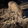 Brevard Zoo - Warty Pig