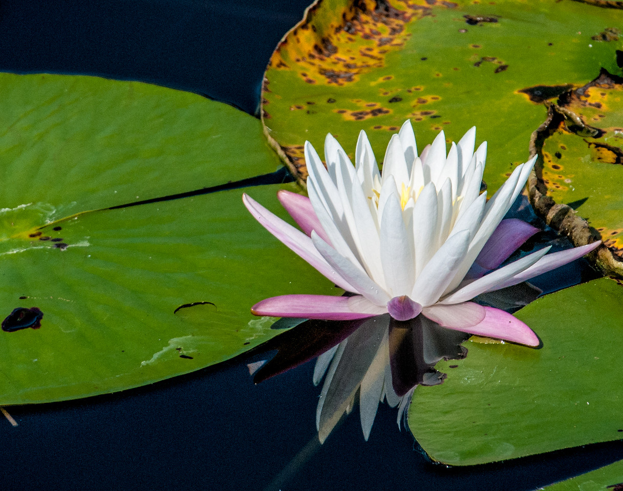 • Location - Freedom Park in Naples<br /> • Water Lily