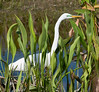 • Location - Freedom Park in Naples<br /> • Great Egret