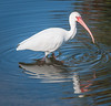 • Location- Sudgen Park in Naples<br /> • White Ibis