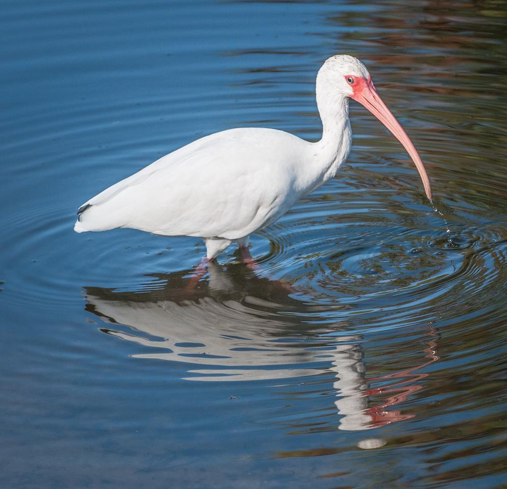 •Location- Sudgen Park in Naples<br /> • White Ibis