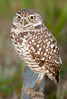Burrowing Owl located in Marco Island at the corner of Winterberry Dr and Barcelona Ct