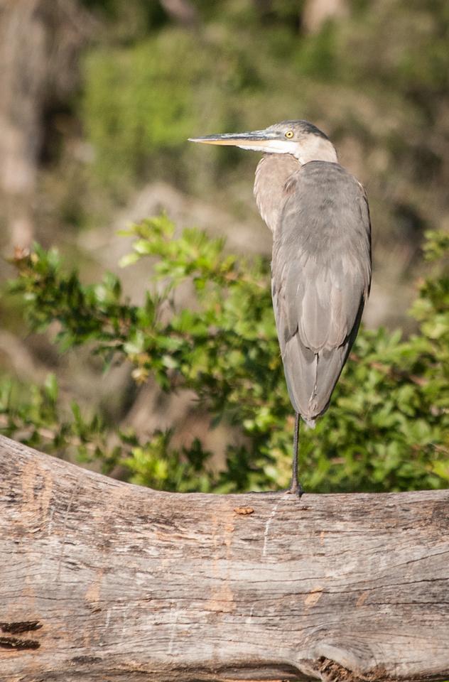 •Location- Sudgen Park in Naples<br /> • Great Blue Heron