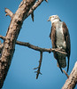 • Location- Sudgen Park in Naples<br /> • Osprey