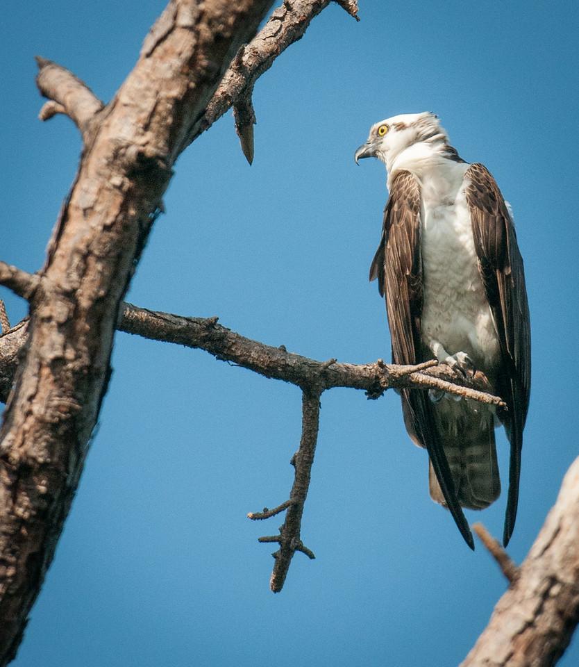 •Location- Sudgen Park in Naples<br /> • Osprey