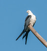 • Location- Sudgen Park in Naples<br /> • Swallow-Tailed Kite