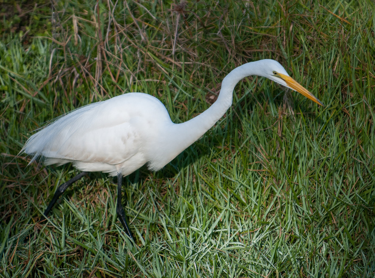 •Location- Sudgen Park in Naples<br /> • Great Egret
