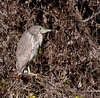 • Fountain of Youth ECO/History Pontoon Boat Tour<br /> • Juvenile Black-Crowned Night Heron