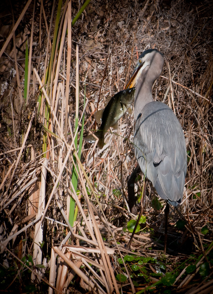 • Fountain of Youth ECO/History Pontoon Boat Tour<br /> • A sequence of images of a great Blue Heron eating a fish
