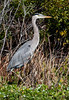 • Fountain of Youth ECO/History Pontoon Boat Tour<br /> • Great Blue Heron - Just a Portrait  Photo