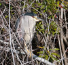 • Fountain of Youth ECO/History Pontoon Boat Tour<br /> • Black-Crowned Night Heron trying to hide from us