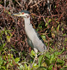 • Fountain of Youth ECO/History Pontoon Boat Tour<br /> • Black-Crowned Night Heron with its neck stretch out