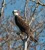 • Fountain of Youth ECO/History Pontoon Boat Tour<br /> • Osprey looking for a fish to catch