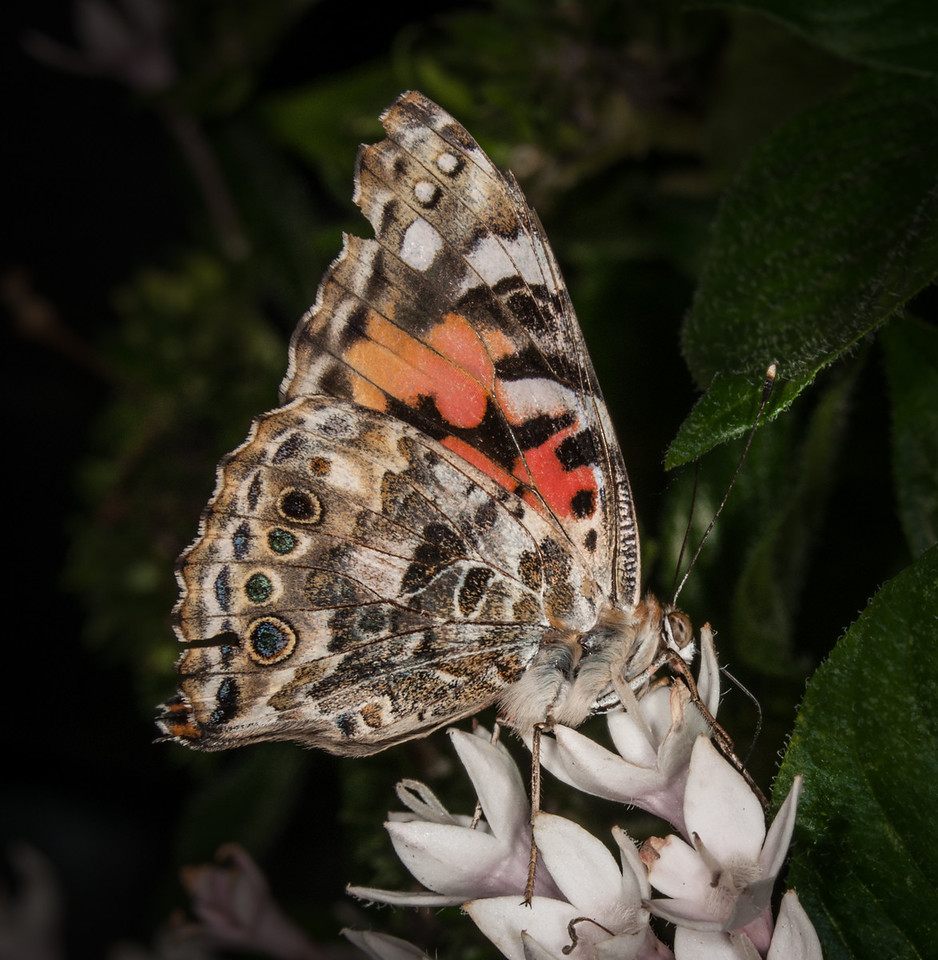 The Painted Lady Butterfly - Vanessa cardui