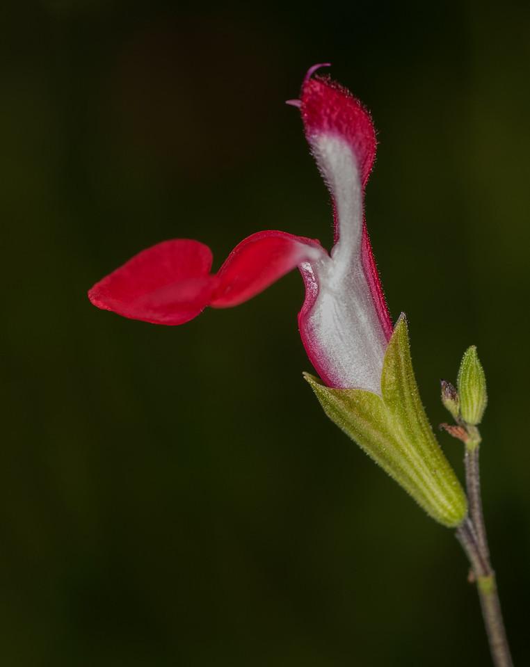 Salvia 'Lipstick