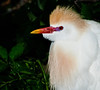 Cattle Egret - Only a mother could love that face