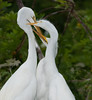 Great Egrets - Three way battle going on