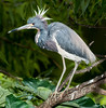 I guess the the Tricolored Heron must be excited about something.