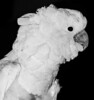 Yep, it is a B&W photo of the White Parrot