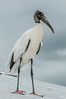 I can't image why the Wood Stork likes it on top of the metal roof.