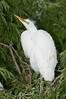 Great Egret - What are you doing up there?