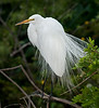 Great Egret showing off its plumage