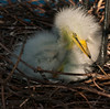 Newly hatched Great Egret