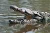 Pre HDR of a Crocodile