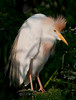 Cattle Egret looking at something intensely
