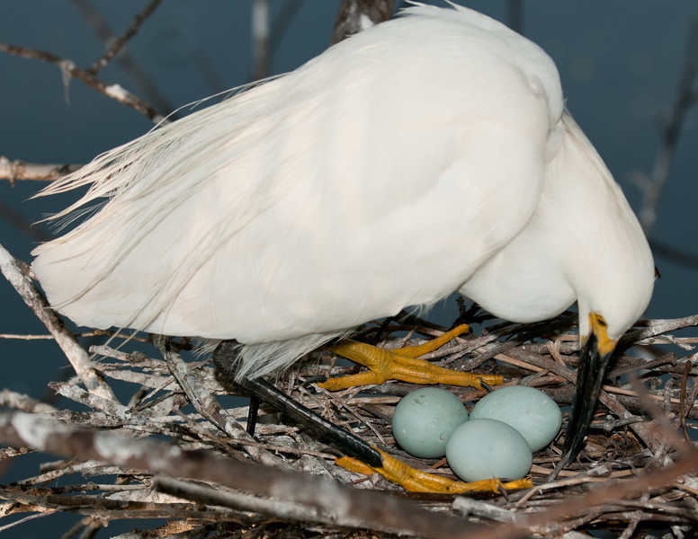 Snowy Egret ready to sit back down on her eggs