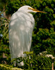 Great Egret just hanging around