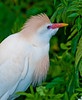 Cattle Egret - I can see you back there