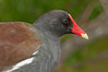 Common Moorhen - When you look at me up close, I'm not too bad looking