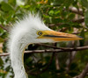 Baby Great Egret - How cute am I!