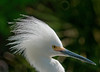Snowy Egret - Oh, come on!