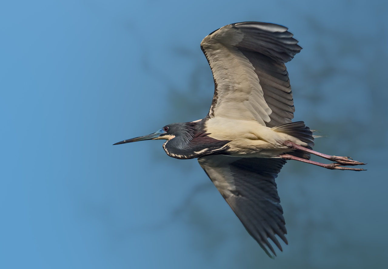 Tri-colored Heron in flight