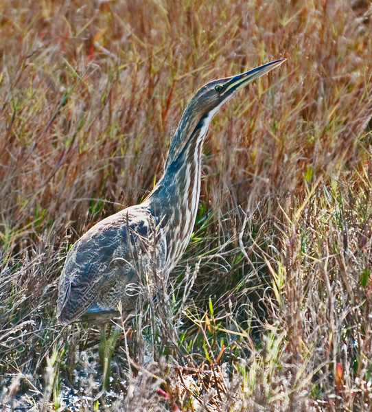 • Location - MIWR, Black Point Drive<br /> • The elusive American Bittern