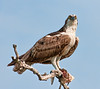 • Location - MIWR, Bio Lab Road<br /> • Osprey with its catch in its talons