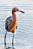 • Location - MIWR, Black Point Drive<br /> • Reddish Egret with a small fish