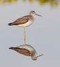 • Location - MIWR, Black Point Drive<br /> • Greater Yellowlegs with its reflection