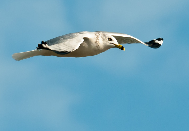 • Location - MIWR, Black Point Drive<br /> • Ring-billed Gull in flight