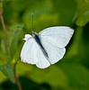 • Location - MIWR, Bio Lab Road<br /> • Florida White Butterfly