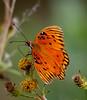 • Location - MIWR, Bio Lab Road<br /> • Gulf Fritillary Butterfly