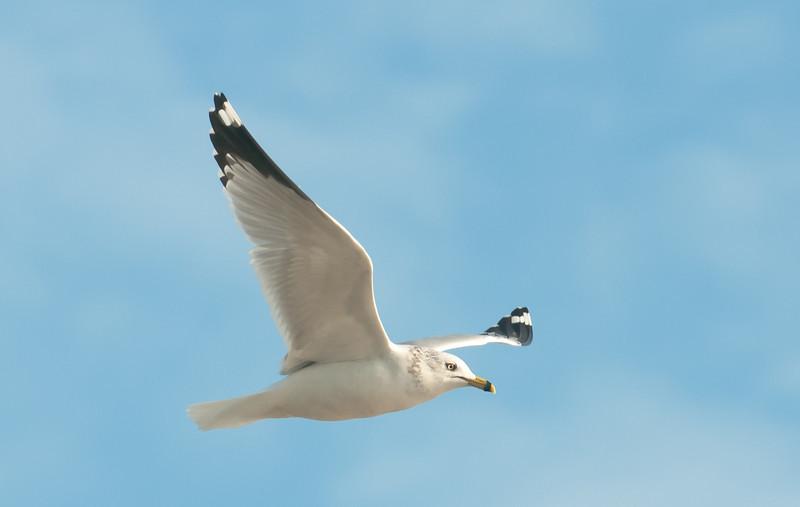 • Location - MIWR, Black Point Drive<br /> • Ring-billed Gull in flight