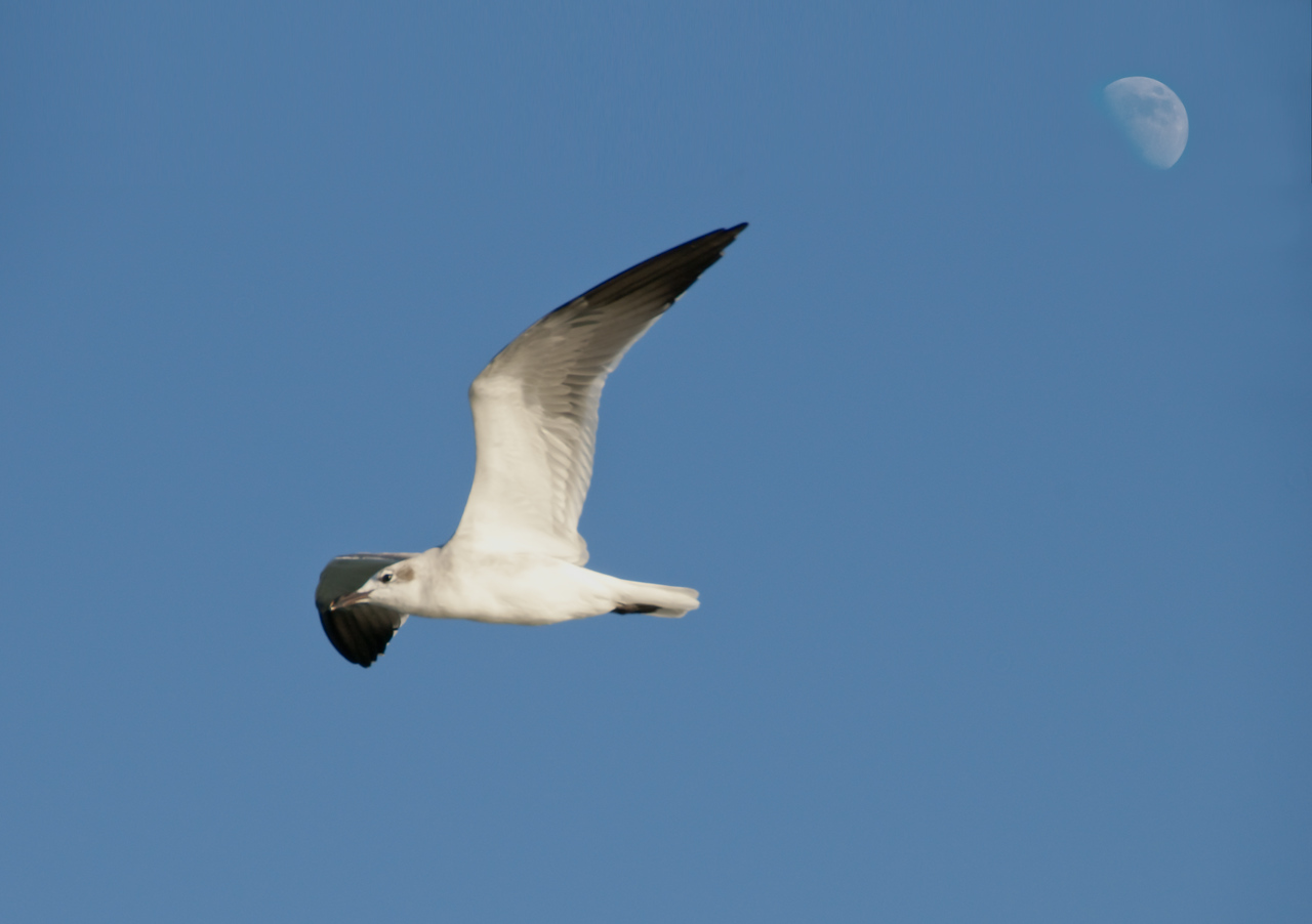 I capture the moon in this image with the non-breeding Laughing Gull