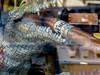 Yep, that's an Alligator smoking a cigar