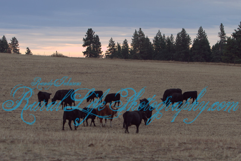 Cameron Fall Cattle Drive 2011 Day 2
