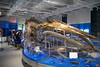 This is a skeleton of an immature female blue whale recovered from Newfoundland. The 19-metre long skeleton weighs 2.5 tons. A fully grown adult would could reach 33 metres and weigh a stunning 180 tons, or as much as a fully-loaded Boeing 767-300ER!! Blue whales are the largest mammals ever to live on Earth - bigger than the biggest dinosaur.<br /> _MG_6492