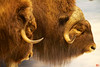 This is a life-size diorama of the hardy muskox.<br /> _MG_6541